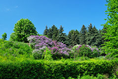 Garden with chestnut and lilac trees Royalty Free Stock Photo