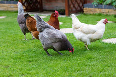 Garden chicken Royalty Free Stock Photos