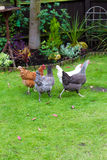 Garden chicken. Pet chickens in an English garden Royalty Free Stock Image