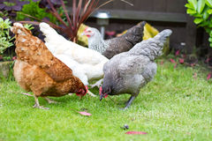 Garden chicken Stock Photo