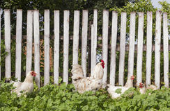 Garden with chickens and white rooster against wooden fence. Summer rural yard with domestic white and hens Stock Images