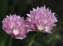 Allium schoenoprasum Forescate  Stock Images