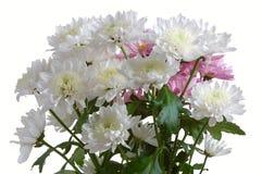 Garden chrysanthemum Stock Images