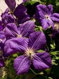 Garden clematis (Clematis x Jackmanii). The garden clematis (Clematis x Jackmanii) garden climbing plants Stock Photos