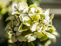 The garden - a closeup of a bunch of pale yellow flowers. Royalty Free Stock Photography
