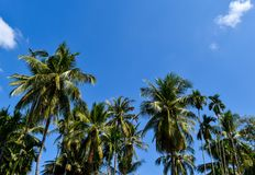 Garden of coconut by sufficiency economy philosophy in the countryside of Thailand. Garden of coconut tree by sufficiency economy philosophy looks fresh and Royalty Free Stock Photos