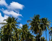 Garden of coconut by sufficiency economy philosophy in the countryside of Thailand. Garden of coconut tree by sufficiency economy philosophy looks fresh and Stock Photo