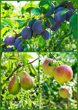 Garden collection: apples, pears and plums tree Royalty Free Stock Photos