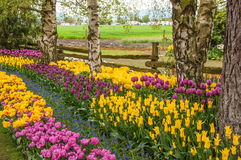 Garden of colorful tulips Stock Photos