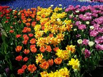 Myriad of Vivid Colors, Spring Tulip Festival, Mount Vernon, Fidalgo Island, Washington, USA royalty free stock photography