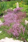 The garden composition. Breckland thyme. Stock Image