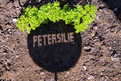 Herb parsley sign. shadow of parsley sign on the garden ground. royalty free stock photography