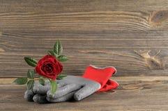 Garden concept still life with rose flower and gardener's gloves Stock Images