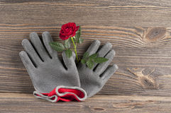 Garden concept still life with rose flower and gardener's gloves Royalty Free Stock Photography