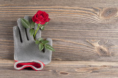 Garden concept still life with rose flower and gardener`s gloves Royalty Free Stock Images