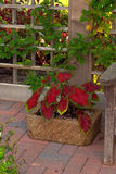 Garden Container. Pot of Caladiums next to a wooden bench backed by lattice and leaves Royalty Free Stock Photography