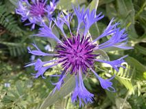 garden cornflower Stock Image