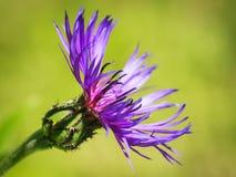 Garden cornflower. Shallow depth of field Royalty Free Stock Photo