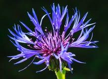 Garden cornflower. Shallow depth of field Stock Photography