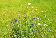 Garden cornflowers Royalty Free Stock Photo