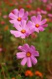Garden cosmos. Four garden cosmos cosmea are blooming Stock Images