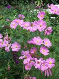 Garden Cosmos. Clump of purple flowering Cosmos stock photography