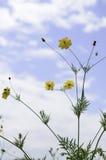 Garden Cosmos in Autumn Stock Image