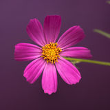 Garden Cosmos Stock Photography