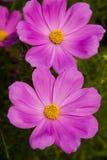 Garden cosmos Stock Image