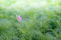 Garden cosmos (Cosmos bipinnatus) flower Stock Photo