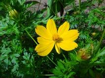 Garden cosmos flower Royalty Free Stock Image