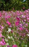 Garden Cosmos flowers Stock Images