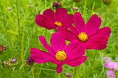 Garden cosmos or Mexican aster flowers Stock Images