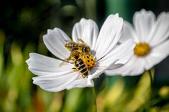 Garden Cosmos. Two bees on a flower in day light royalty free stock photo