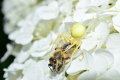 Garden crab spider eating a bee on a flower macrophotography Royalty Free Stock Photo