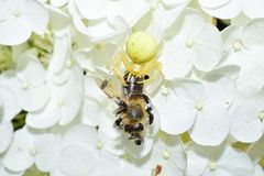 Garden crab spider eating a bee on a flower macrophotography Royalty Free Stock Photography