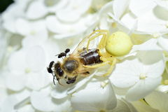 Garden crab spider eating a bee on a flower macrophotography Royalty Free Stock Photos