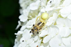 Garden crab spider eating a bee on a flower macrophotography Stock Photography