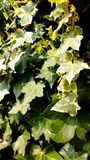 Garden creeper detail royalty free stock image