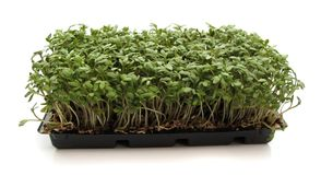 Garden cress. (Lepidium sativum) is a fast-growing, edible plant botanically related to watercress and mustard and sharing their peppery, tangy flavor and aroma Stock Images