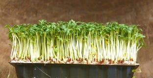 Garden cress Stock Image