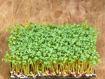 Garden cress Royalty Free Stock Images