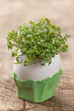 Garden cress Royalty Free Stock Photo