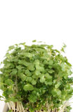 Garden Cress Stock Photos