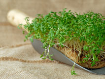 Garden cress on garden trowel. Organic fresh garden cress placed on a trowel Royalty Free Stock Photos
