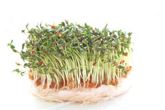 Garden cress Royalty Free Stock Image