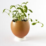 Garden cress growing in an empty egg shell Royalty Free Stock Photos