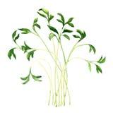 Garden cress isolated on white background Royalty Free Stock Image