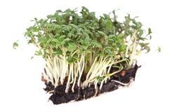 Garden Cress (Lepidium Sativum) isolated on white Stock Photography