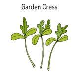 Garden cress lepidium sativum , or pepper grass, vegetable culinary herb Royalty Free Stock Photography